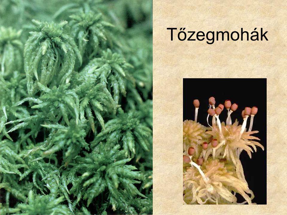 Tőzegmohák Bal oldali kép: Szerk. Farkas Sándor: Magyarország védett növényei, Mezőgazda Kiadó 1999.
