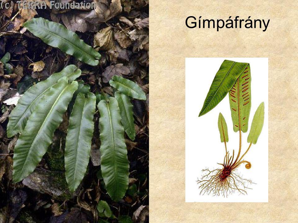 Gímpáfrány Bal oldali kép: Hazánk növényvilága CD, Terra alapítvány