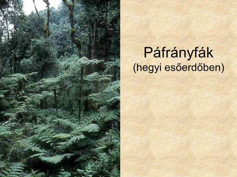 Páfrányfák (hegyi esőerdőben)