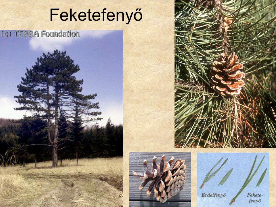 Feketefenyő Bal oldali kép: Hazánk növényvilága CD, Terra alapítvány