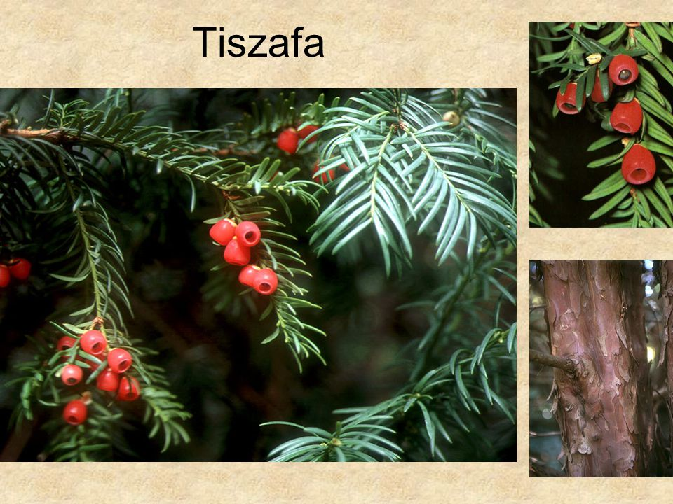 Tiszafa Bal oldali és jobb alsó kép: Fák és cserjék CD, Kossuth Kiadó
