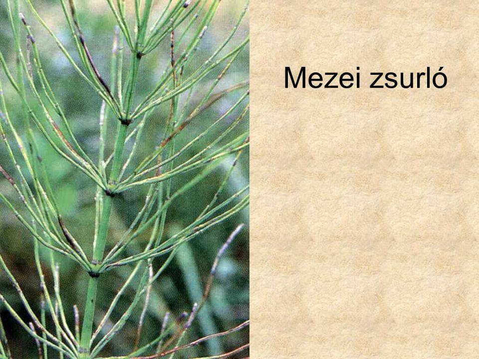 Mezei zsurló Simon-Seregélyes: Növényismeret, Nemzeti Tankönyvkiadó, 1998.