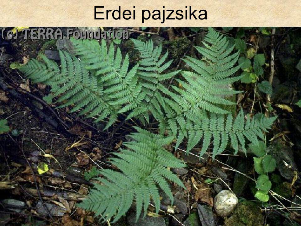 Erdei pajzsika Hazánk növényvilága CD, Terra alapítvány