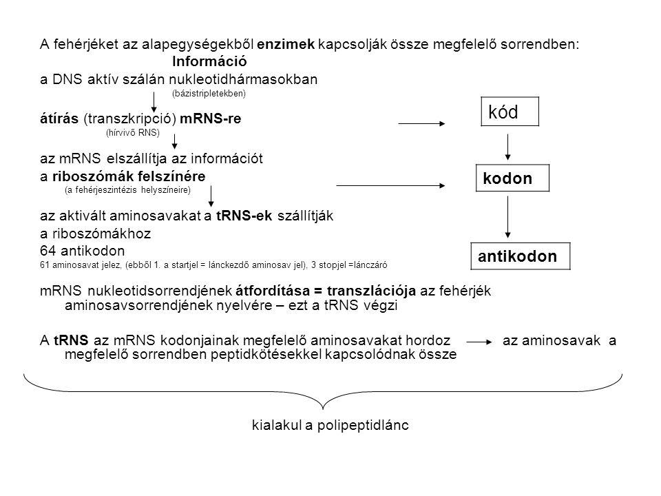 kialakul a polipeptidlánc