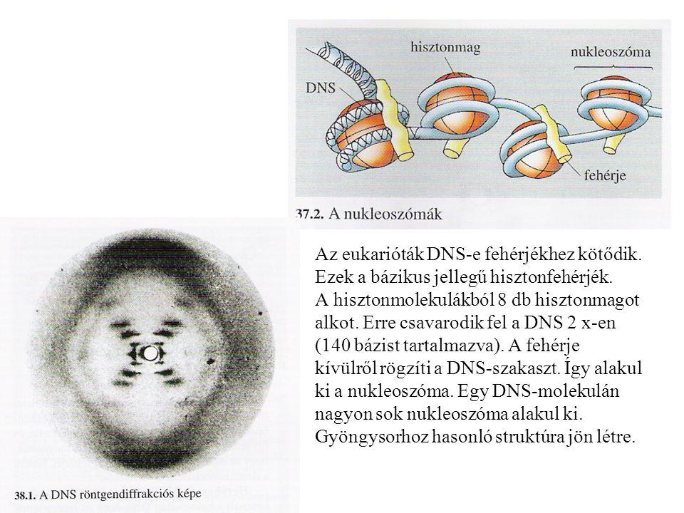 Az eukarióták DNS-e fehérjékhez kötődik