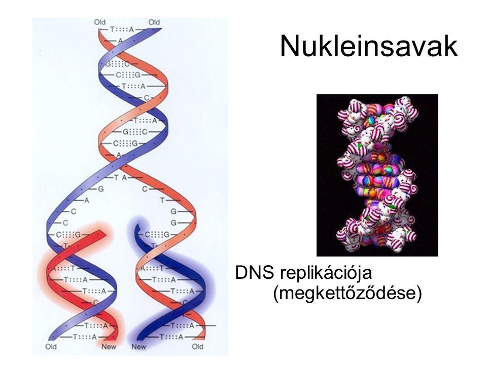 Nukleinsavak DNS replikációja (megkettőződése)