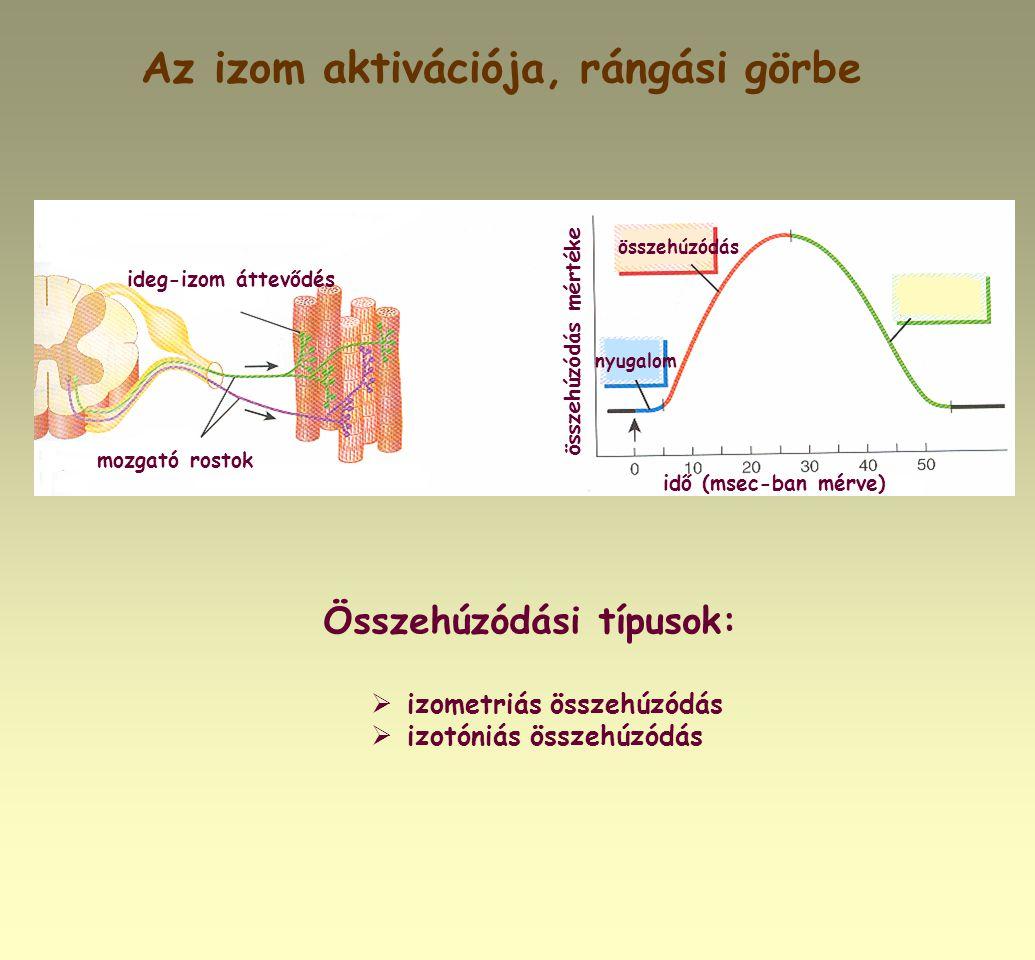 Az izom aktivációja, rángási görbe