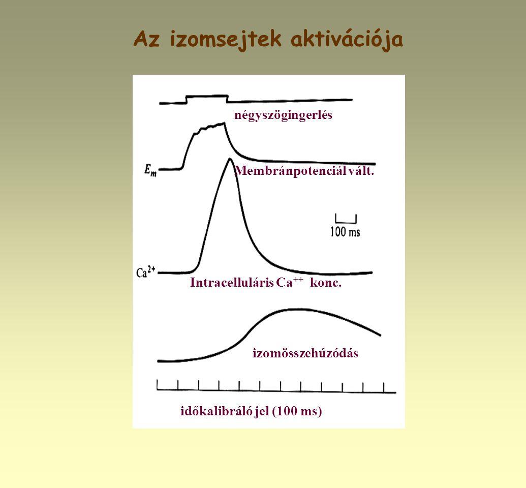Az izomsejtek aktivációja