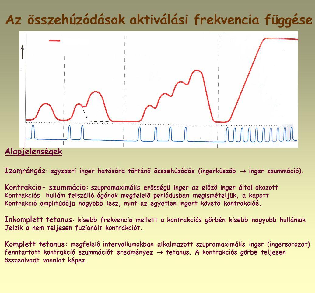 Az összehúzódások aktiválási frekvencia függése