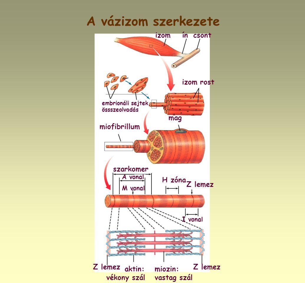 A vázizom szerkezete izom rost mag miofibrillum szarkomer H zóna