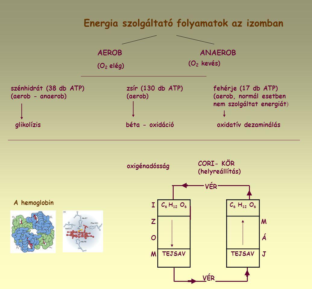 Energia szolgáltató folyamatok az izomban