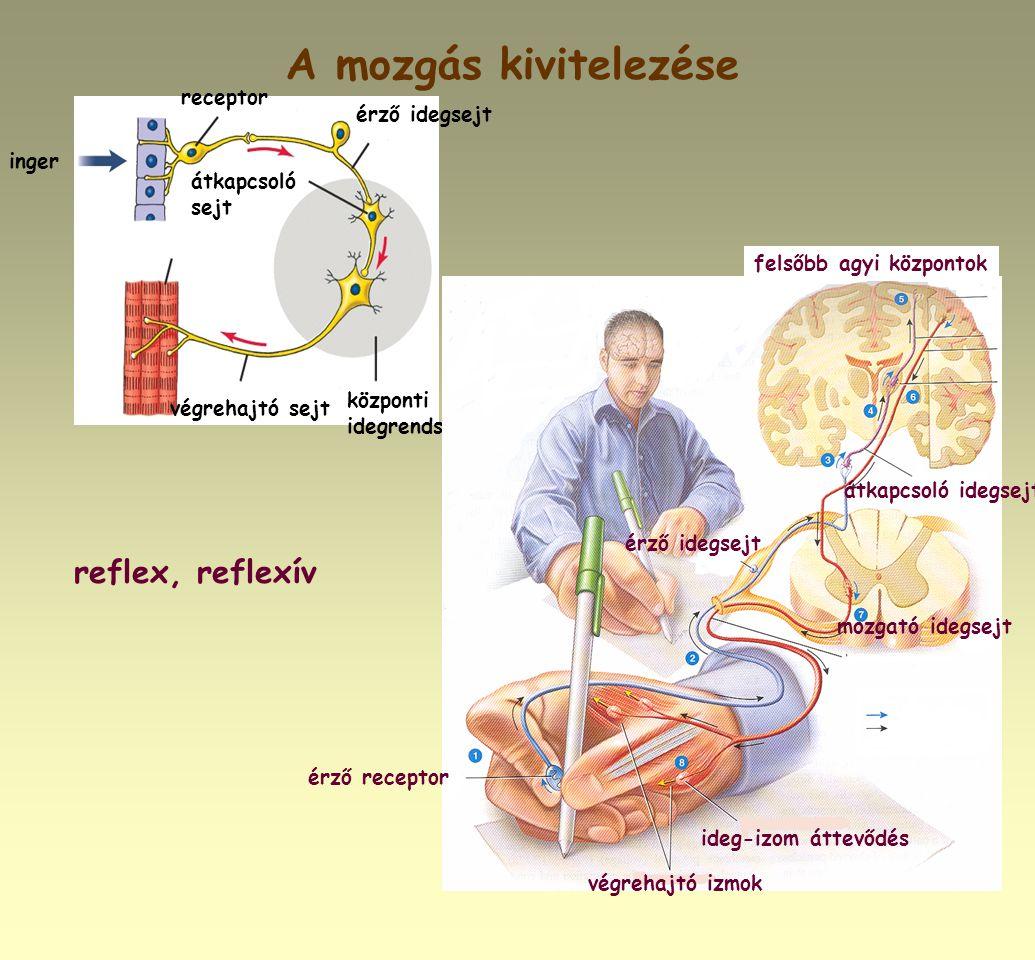 A mozgás kivitelezése reflex, reflexív receptor érző idegsejt inger