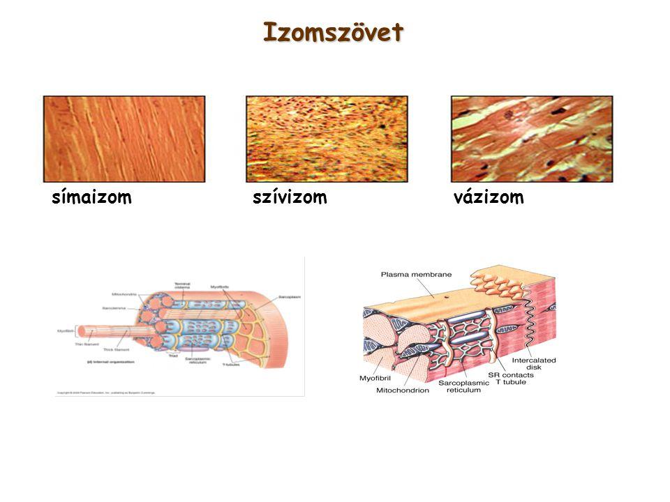 Izomszövet símaizom szívizom vázizom