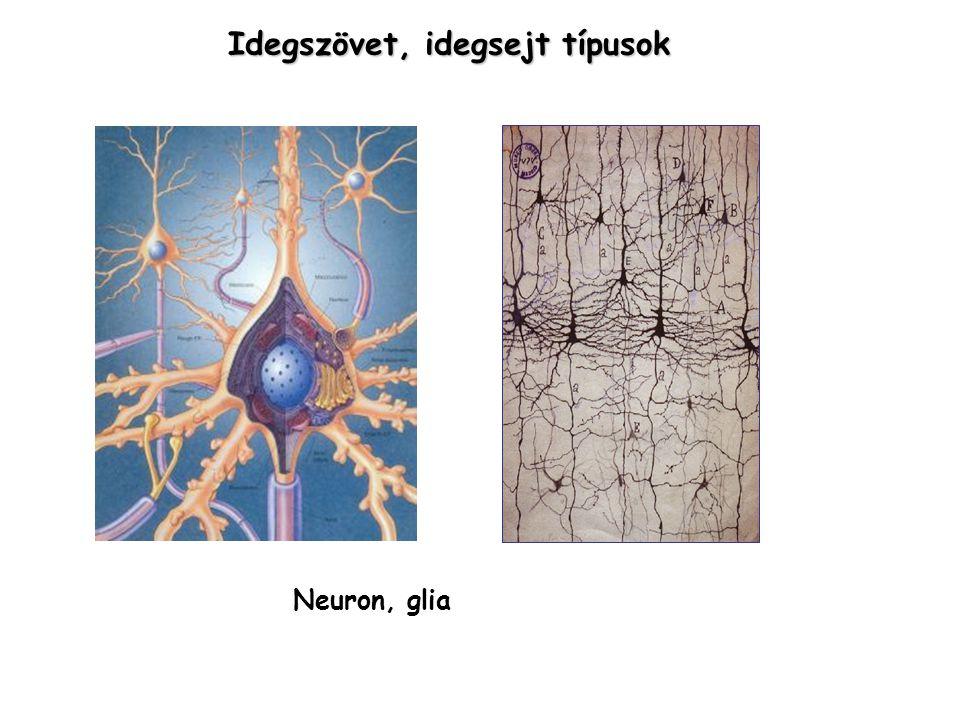Idegszövet, idegsejt típusok