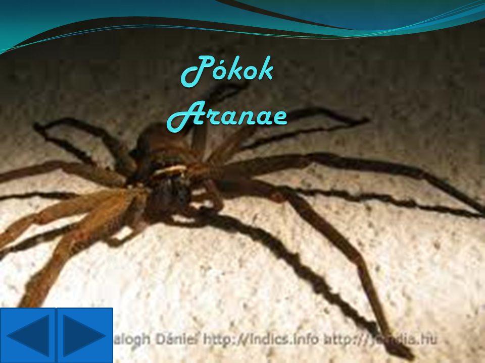 Pókok Aranae