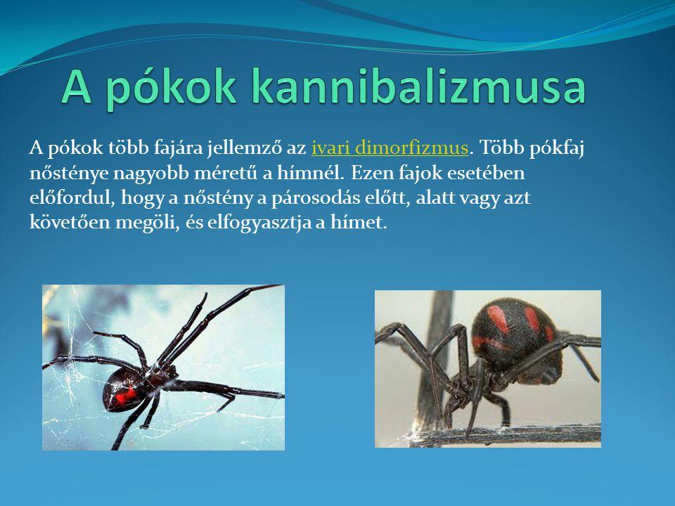 A pókok kannibalizmusa