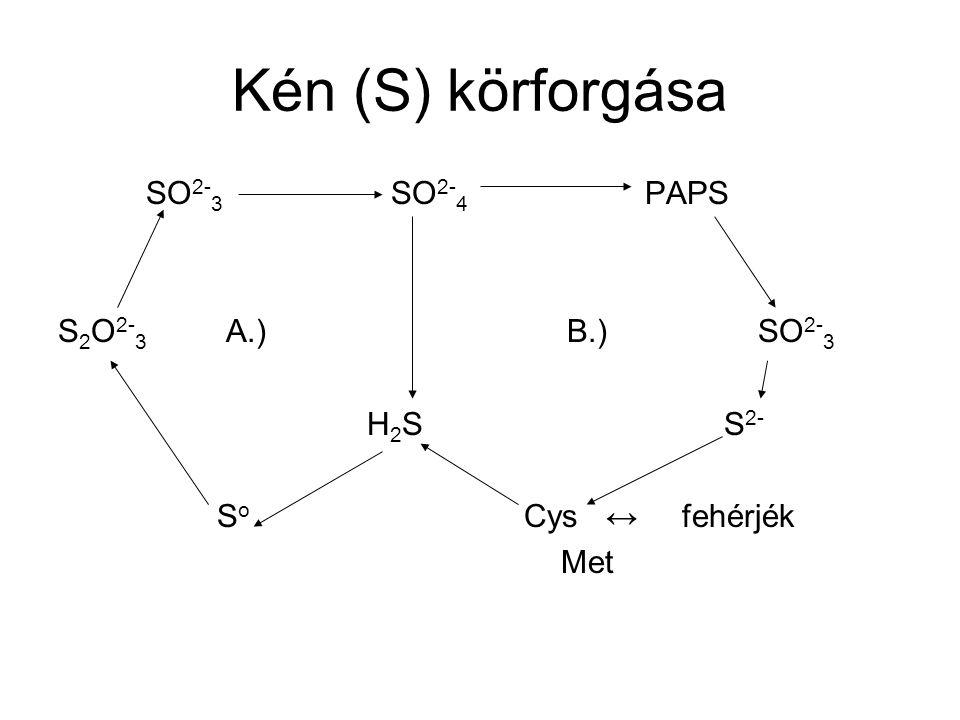 Kén (S) körforgása SO2-3 SO2-4 PAPS S2O2-3 A.) B.) SO2-3 H2S S2-