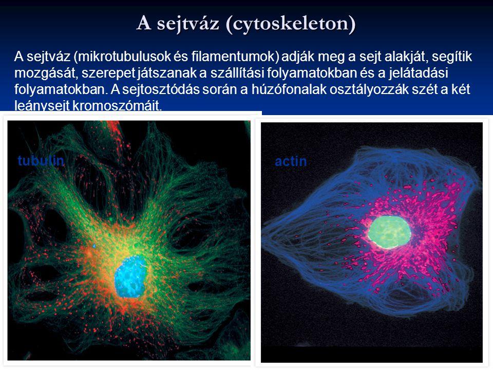 A sejtváz (cytoskeleton)