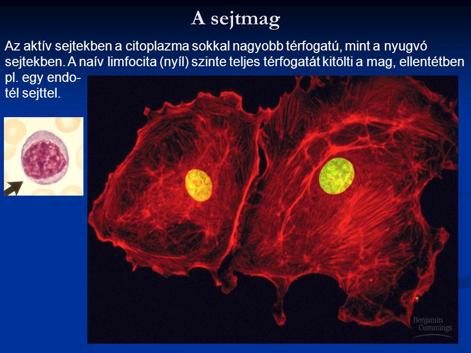 A sejtmag Az aktív sejtekben a citoplazma sokkal nagyobb térfogatú, mint a nyugvó.