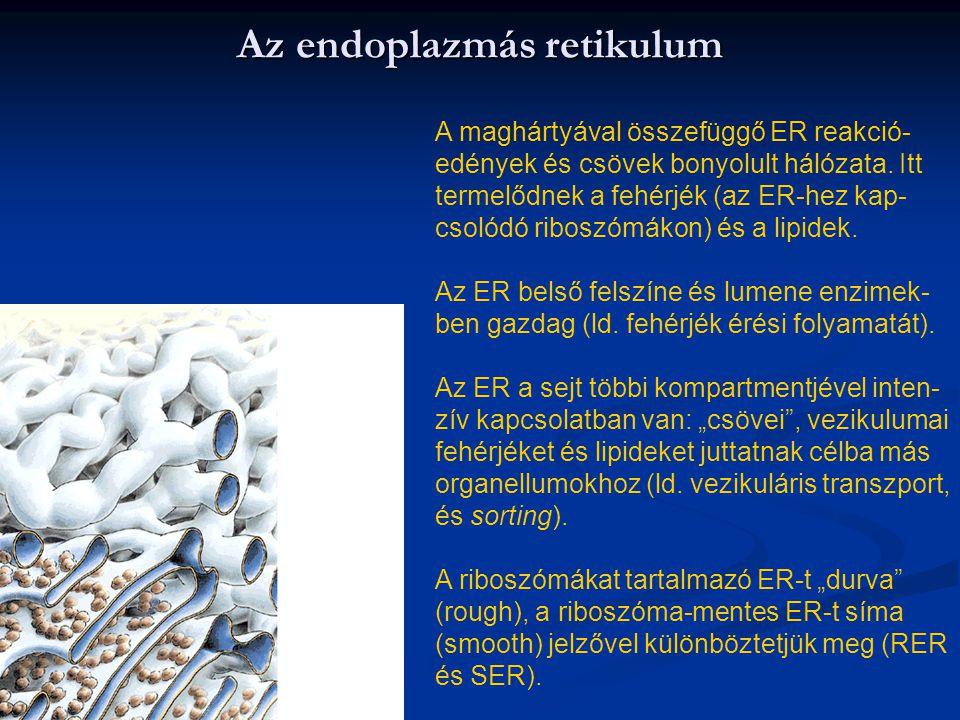 Az endoplazmás retikulum