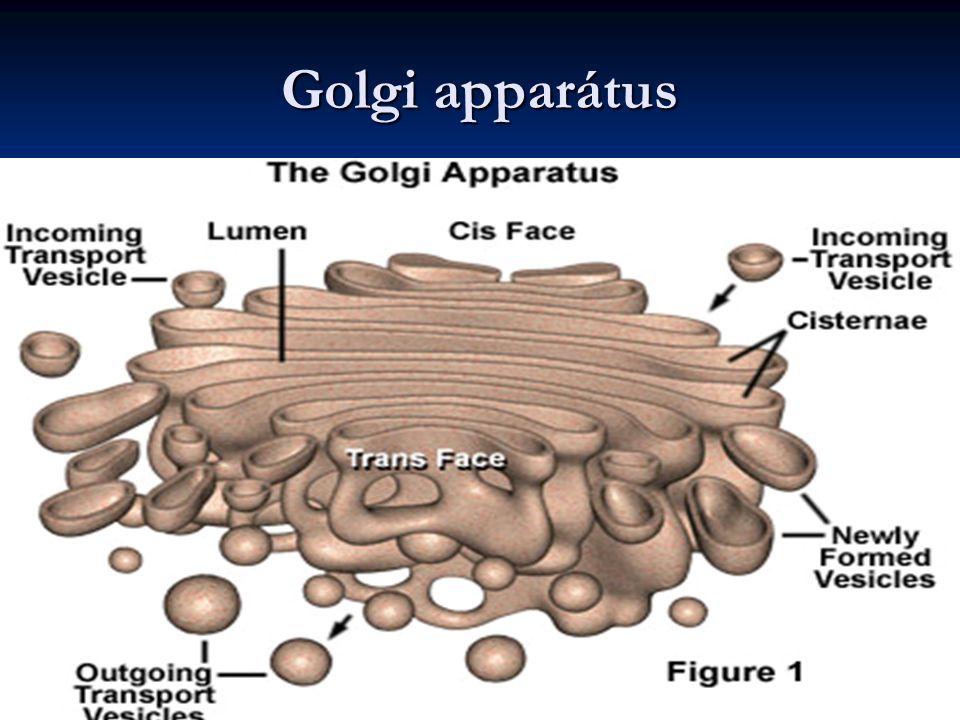 Golgi apparátus