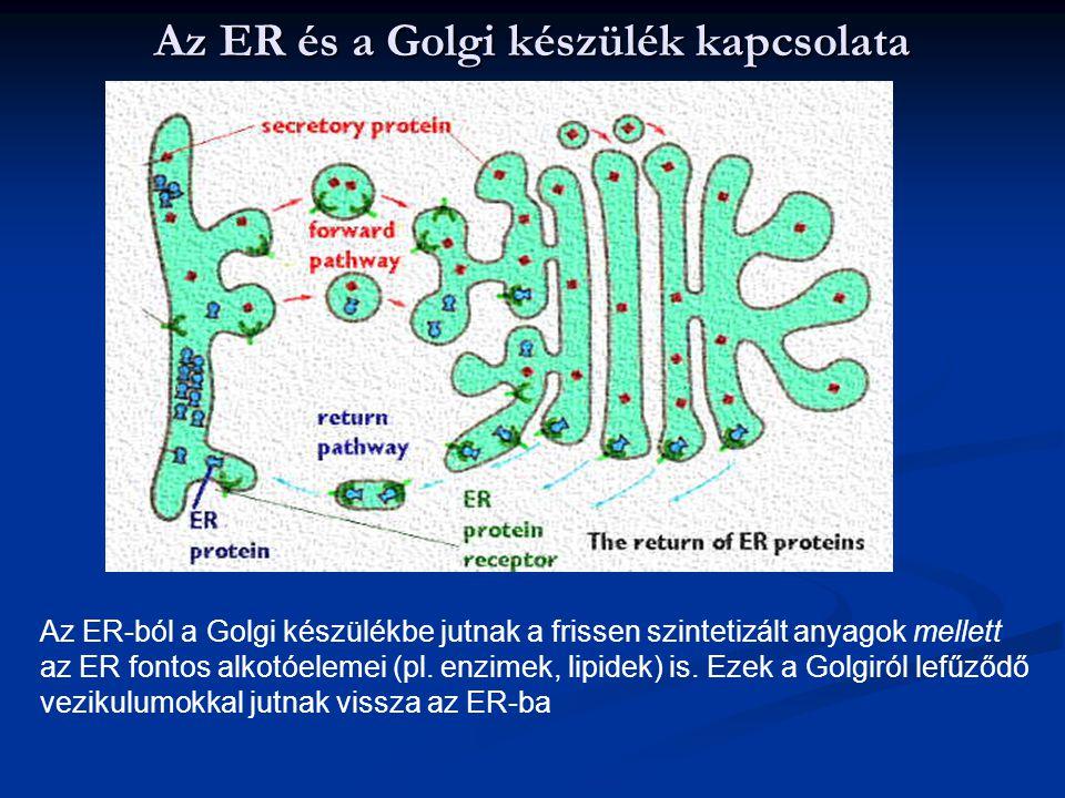 Az ER és a Golgi készülék kapcsolata