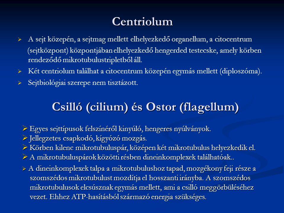 Csilló (cilium) és Ostor (flagellum)