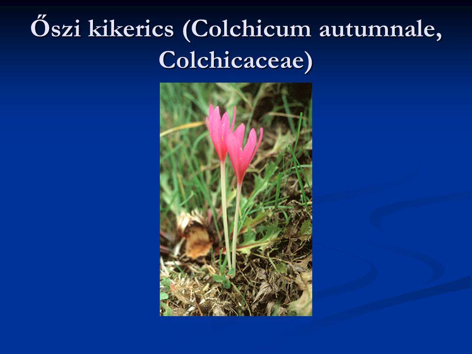 Őszi kikerics (Colchicum autumnale, Colchicaceae)