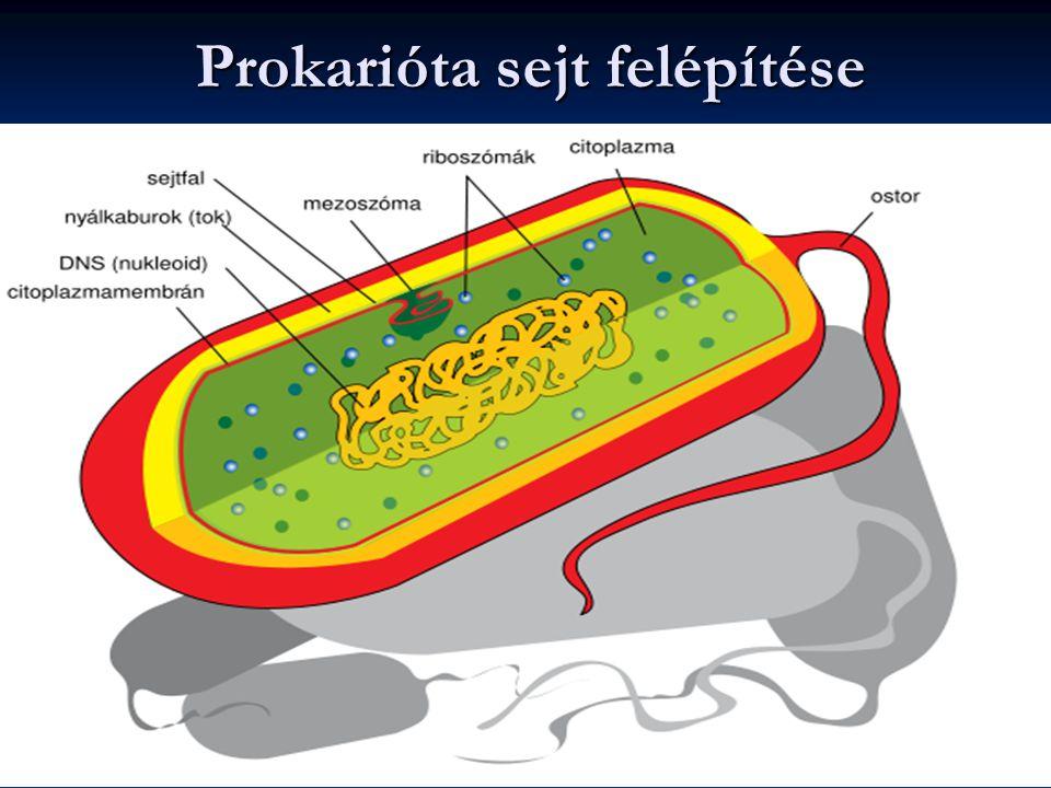 Prokarióta sejt felépítése