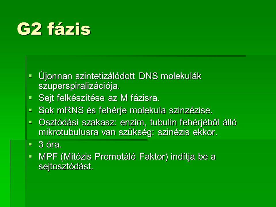 G2 fázis Újonnan szintetizálódott DNS molekulák szuperspiralizációja.