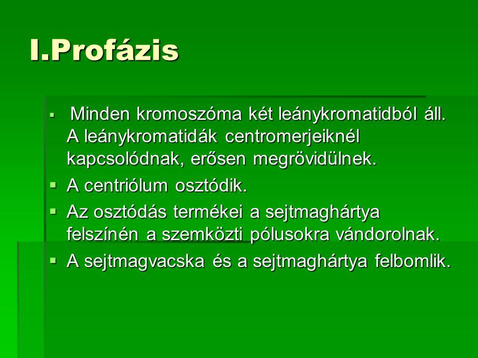 I.Profázis A centriólum osztódik.