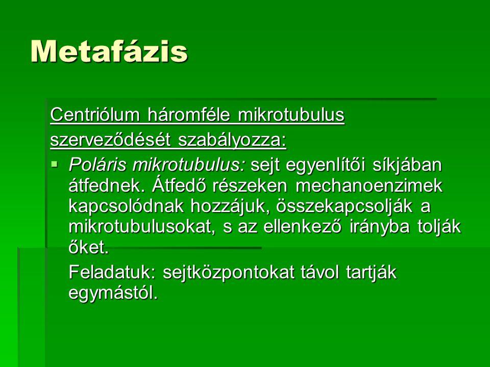 Metafázis Centriólum háromféle mikrotubulus szerveződését szabályozza: