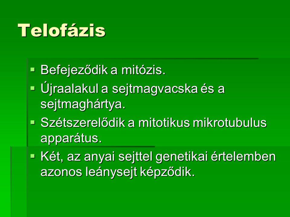 Telofázis Befejeződik a mitózis.