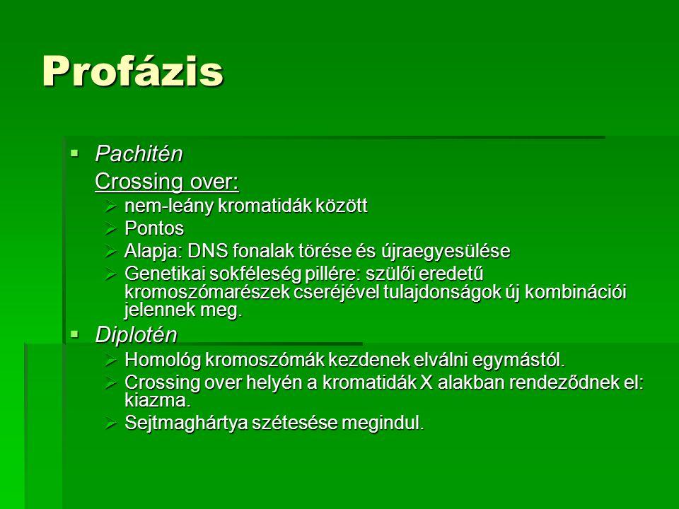 Profázis Pachitén Crossing over: Diplotén nem-leány kromatidák között