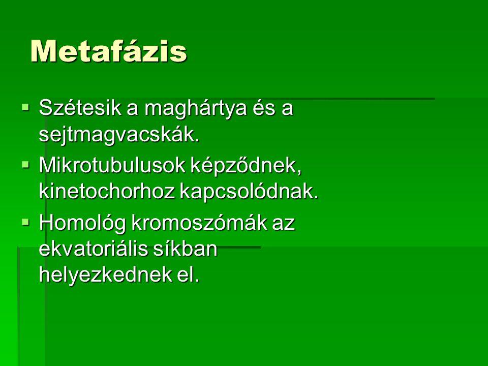Metafázis Szétesik a maghártya és a sejtmagvacskák.