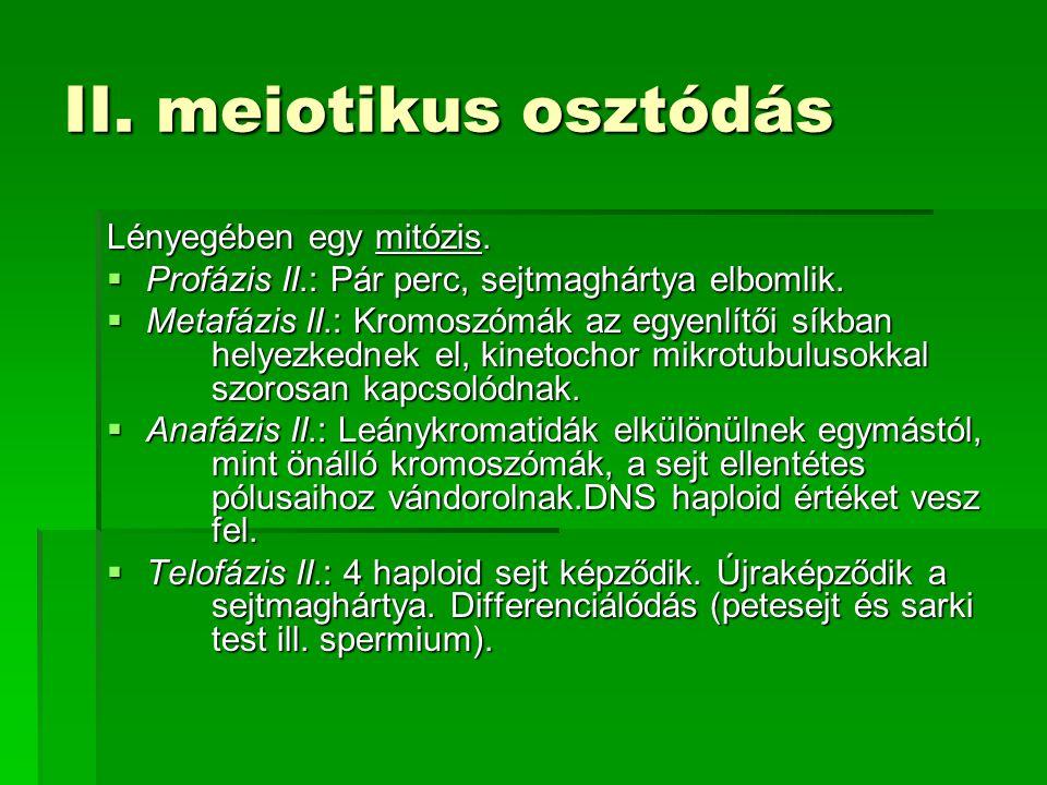 II. meiotikus osztódás Lényegében egy mitózis.