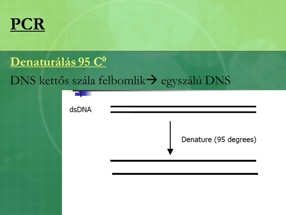 PCR Denaturálás 95 C0 DNS kettős szála felbomlik egyszálú DNS