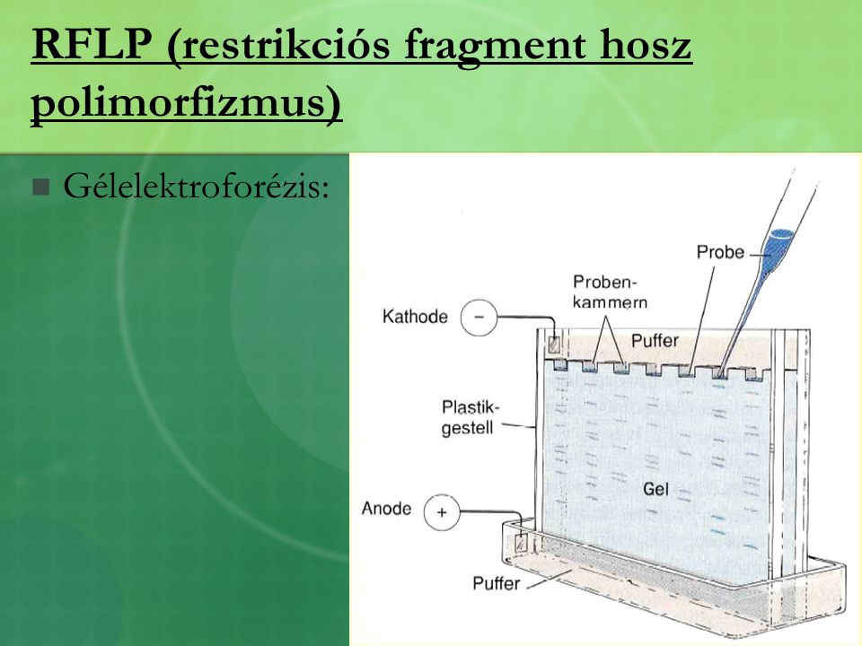 RFLP (restrikciós fragment hosz polimorfizmus)