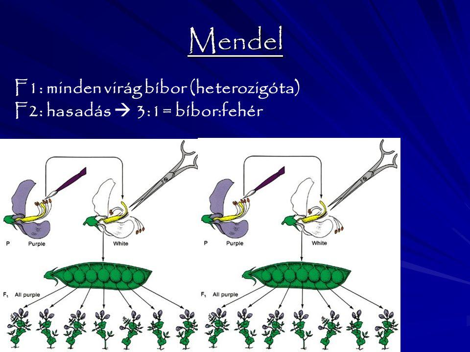 Mendel F1: minden virág bíbor (heterozigóta)