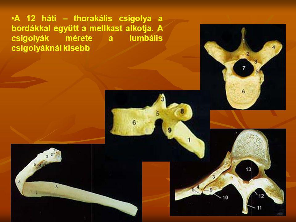 A 12 háti – thorakális csigolya a bordákkal együtt a mellkast alkotja