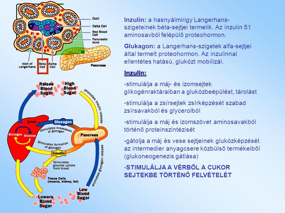 Inzulin: a hasnyálmirigy Langerhans-szigeteinek béta-sejtjei termelik