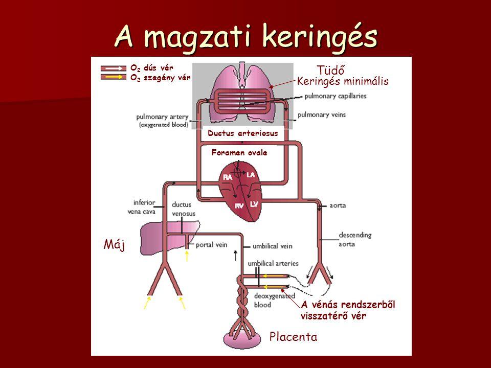 A magzati keringés Tüdő Máj Placenta Keringés minimális