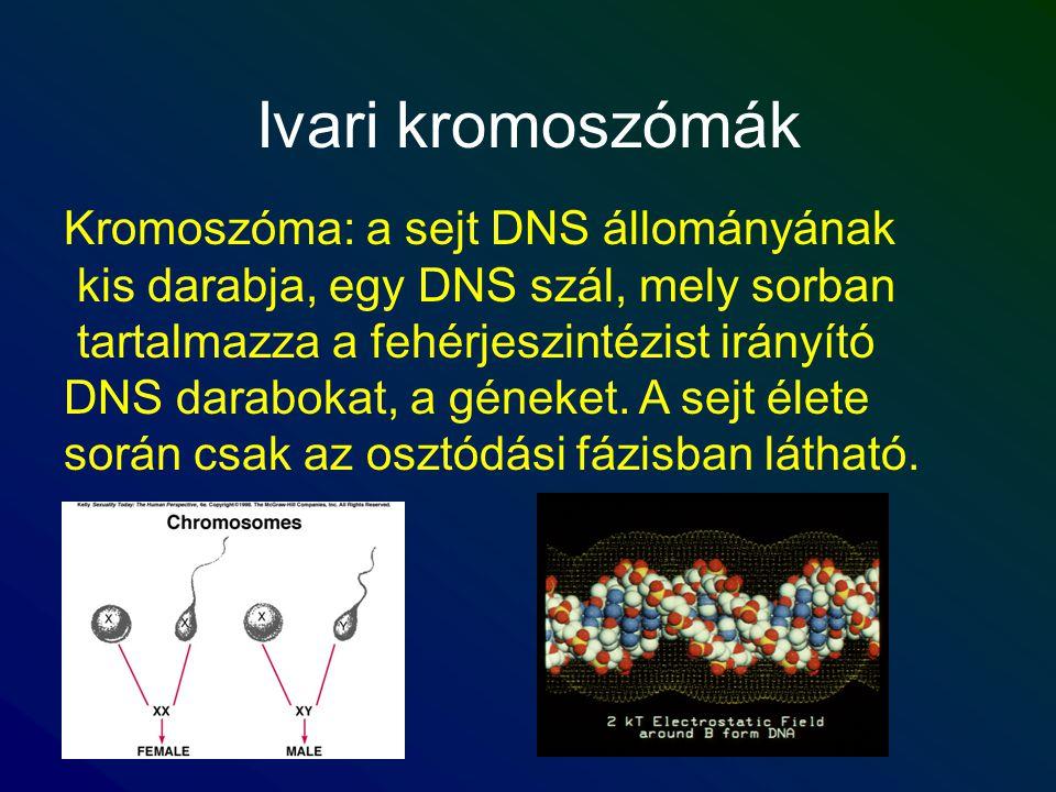 Ivari kromoszómák Kromoszóma: a sejt DNS állományának