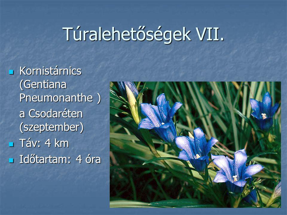 Túralehetőségek VII. Kornistárnics (Gentiana Pneumonanthe )