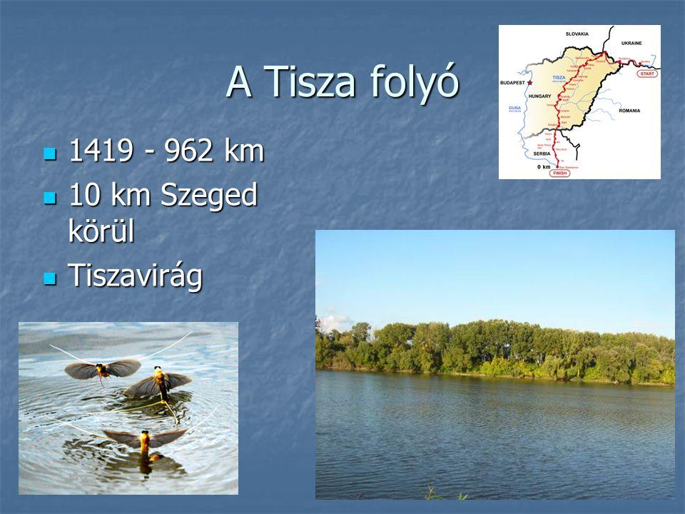 A Tisza folyó 1419 - 962 km 10 km Szeged körül Tiszavirág