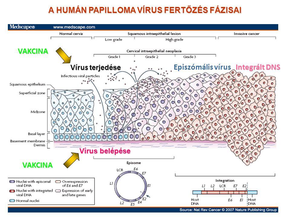 A HUMÁN PAPILLOMA VÍRUS FERTŐZÉS FÁZISAI