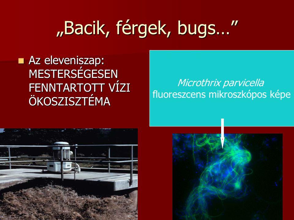 """""""Bacik, férgek, bugs… Az eleveniszap: MESTERSÉGESEN FENNTARTOTT VÍZI ÖKOSZISZTÉMA. Microthrix parvicella."""