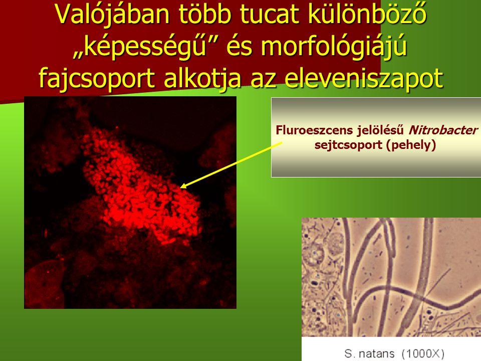 Fluroeszcens jelölésű Nitrobacter