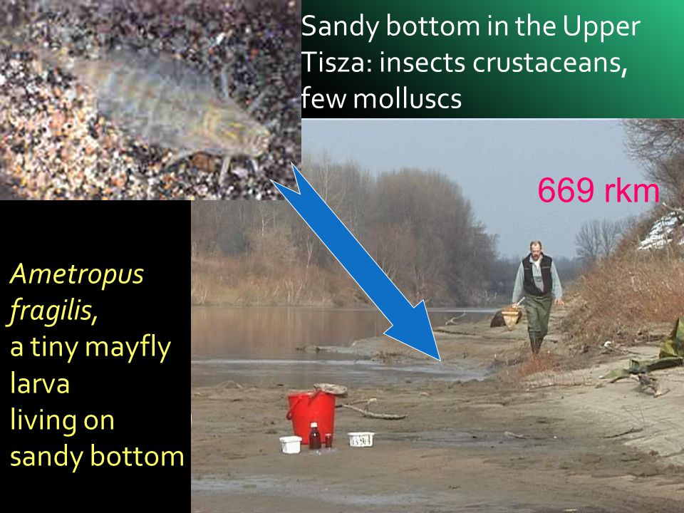 669 rkm Sandy bottom in the Upper Tisza: insects crustaceans,