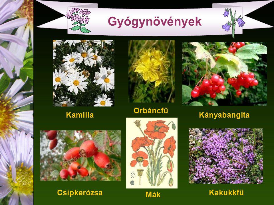 Gyógynövények Orbáncfű Kamilla Kányabangita Csipkerózsa Kakukkfű Mák